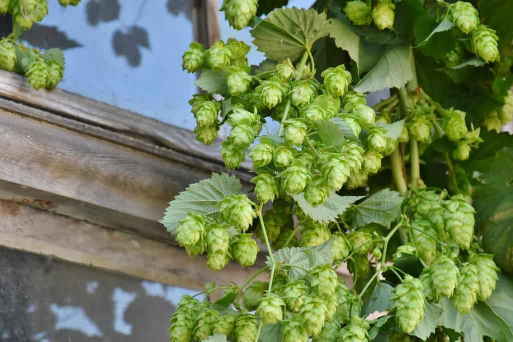 Growing Hop Vines In The Garden Gulley Greenhouse
