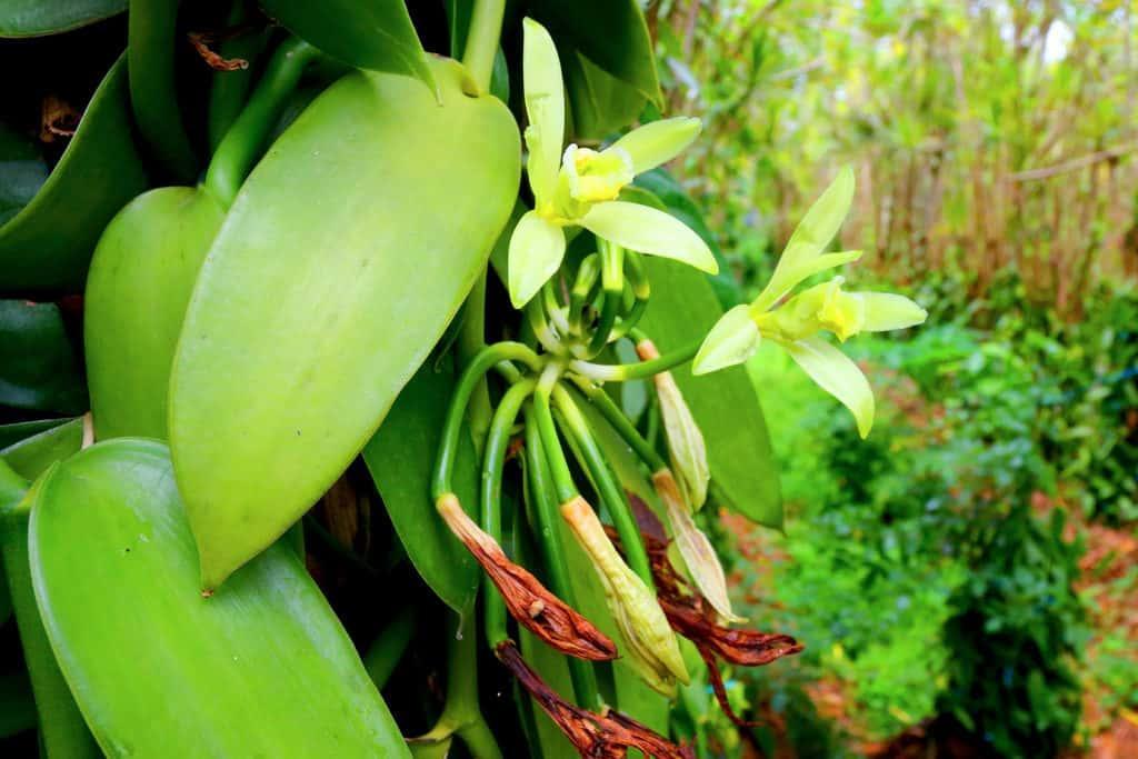Vanilla Bean Orchid