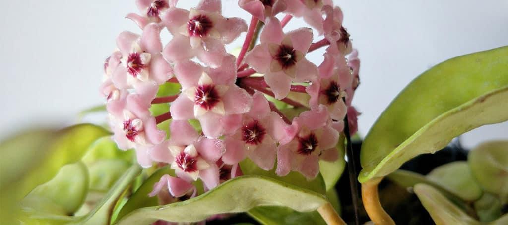 HOYA KRIMSON QUEEN Carnosa Variegata Rare Collector/'s 8 cm pot Living Plant