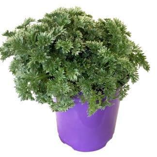 """Artemisia arborescens """"Powis Castle"""""""