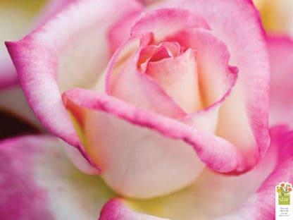 "Rose ""California Dreamin'"""