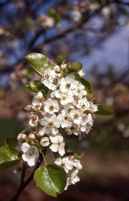 Chanticleer Pear