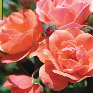 """Rose """"Coral Knock Out"""""""