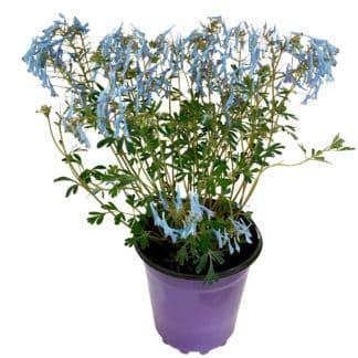 """Corydalis flexuosa """"Hillier's Porcelain Blue"""""""