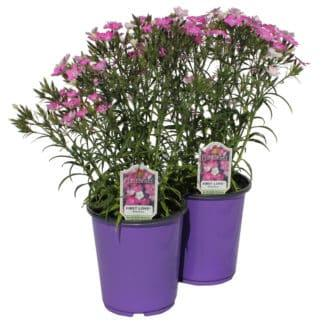 "Dianthus ""First Love"""