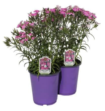 """Dianthus """"First Love"""""""