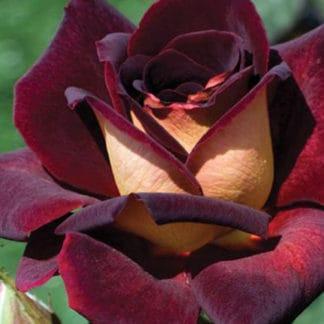"""YES- Rose """"Dark Night"""""""