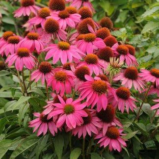 "Echinacea ""PowWow Wild Berry"""