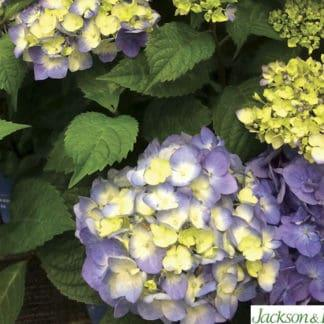 "YES- Hydrangea ""Endless Summer BloomStruck"""