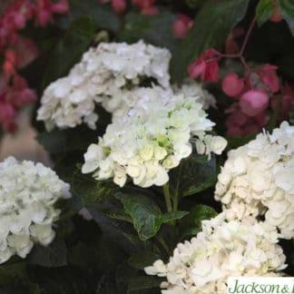 "YES- Hydrangea ""Endless Summer Blushing Bride"""