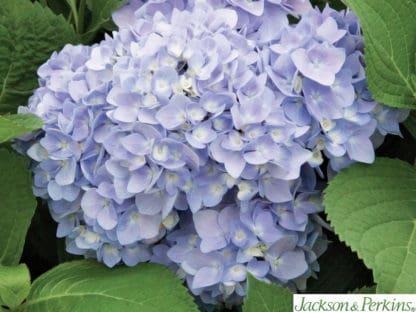 YES- Endless Summer Hydrangea