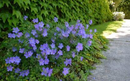 """Geranium """"Johnson's Blue"""""""