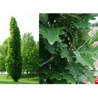 YES- Kindred Spirit Oak