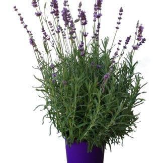 """Lavender """"Hidcote Blue"""""""
