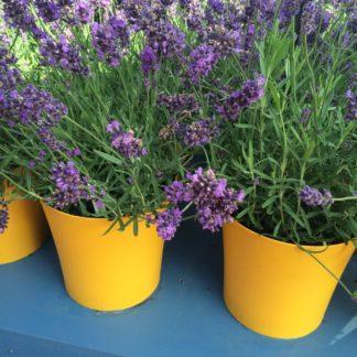 """Lavender """"Superblue"""""""