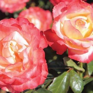 "YES- Rose ""Mercury Rising"""