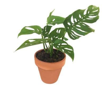 Morris, the Swiss Cheese Plant