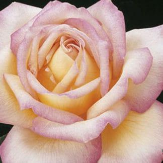 """YES- Rose """"Peace"""" AARS"""