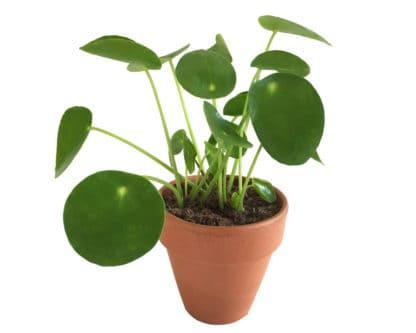 Pip, the Chinese Money Plant