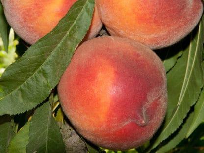 Pix Zee Miniature Peach