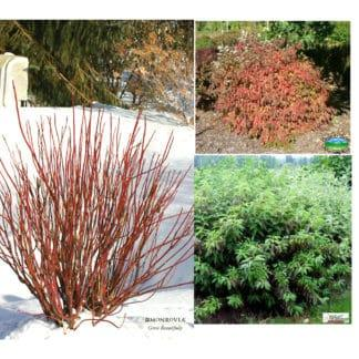YES- Dogwood Red Gnome