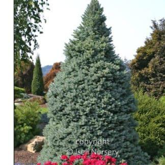 YES- Sester Dwarf Blue Spruce