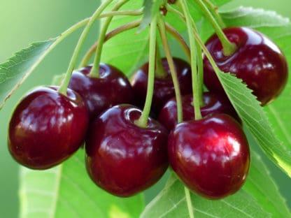 """""""Stella"""" Cherry"""