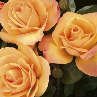 "Image of ""Strike it Rich"" rose bush"