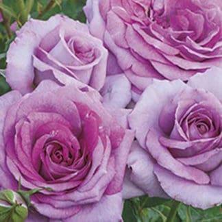 """YES- Rose """"Violet's Pride"""""""