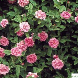 """YES- Rose """"Zephirine Drouhin"""""""