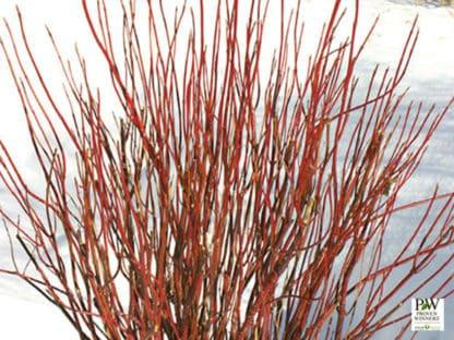 YES- Arctic Fire Red Twig Dogwood