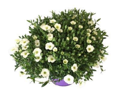 """Arenaria montana """"Mountain Sandwort"""""""