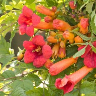 YES- Balboa Sunset Trumpet Creeper Vine