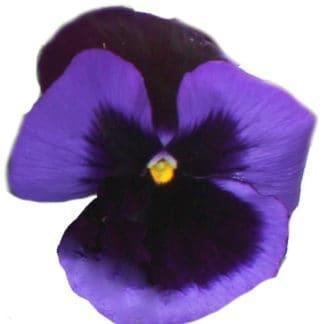 "Viola Wittrockiana ""Blue Velvet Pansy"""