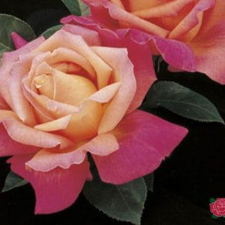 """Photo of Rose """"Chicago Peace"""""""