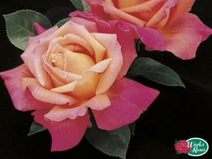 "Photo of Rose ""Chicago Peace"""