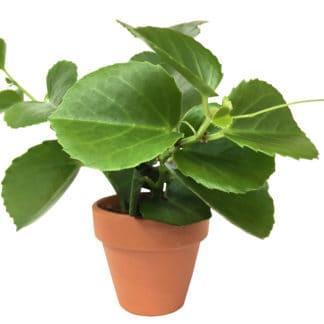 Calvin, the Peruvian Grape Ivy