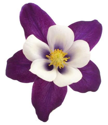 "Aquilegia ""Colorado Violet & White Remembrance Columbine"""