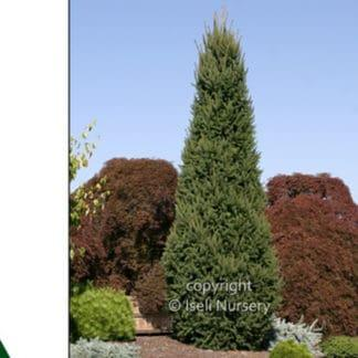 YES- Columnar Norway Spruce