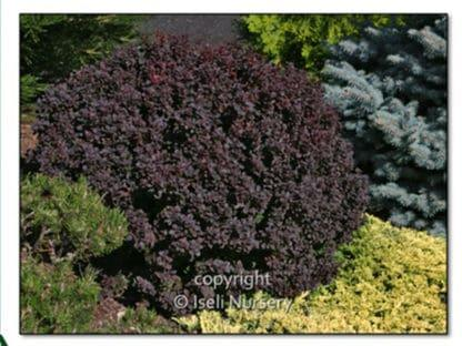 YES- Japanese Barberry Concorde