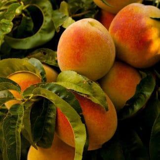 """""""Contender"""" Peach"""