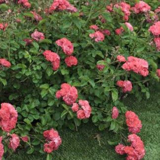 "Rose ""Coral Drift"""