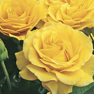 "YES- Rose ""Doris Day"""