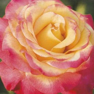 """YES- Rose """"Dream Come True"""" AARS"""