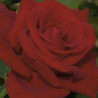 """YES- Rose """"Drop Dead Red"""""""