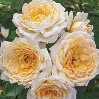 """YES- Rose """"Edith's Darling"""""""