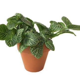 Effie, the Nerve Plant