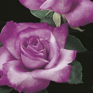 """YES- Rose """"Fragrant Plum"""""""