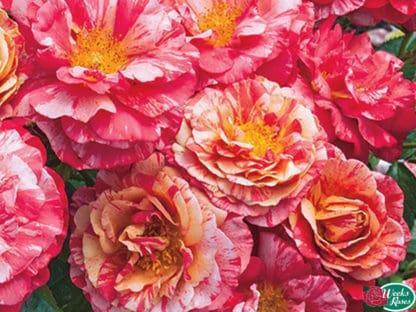 """YES- Rose """"Frida Kahlo"""""""