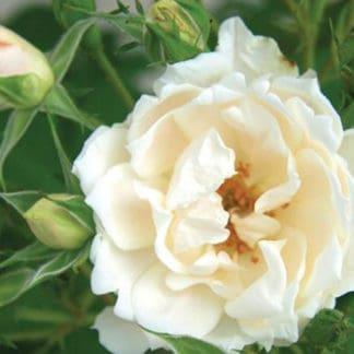 "YES- Rose ""Icecap"""